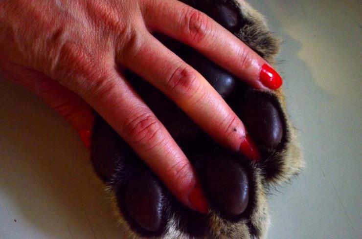 Minha mão entrelaçada com a pata de um tigre. ( My hand intertwined with the hand of a tiger.