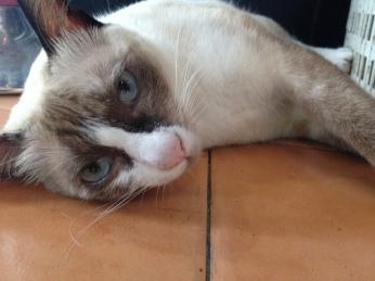 Simpático Gato encontrado nos estabelecimentos de Koh Tao - Photo by Claudia Grunow