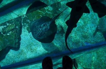 Uma Arraia e um tubarão passeando sob meus pés - Photo by Claudia Grunow