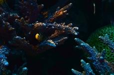 Peixe Palhaço em sua anêmona do mar - Photo by Claudia Grunow