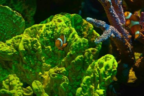 Um Nemo ( Peixe palhaço ) Photo by Claudia Grunow